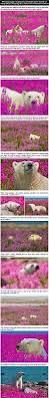 photographer captures unbelievable scene of polar bears playing in
