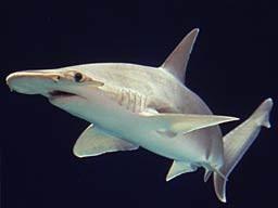 bonnethead shark bite research