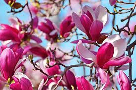 Magnolia Wallpaper by Flowers Magnolia Branches Closeup