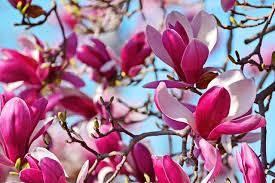 Magnolia Wallpaper Flowers Magnolia Branches Closeup