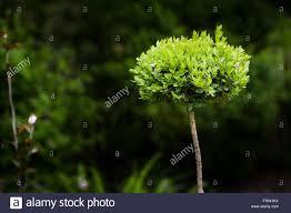 new leaves flourish on a small ornamental bush stock photo