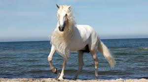 white mustang horse photo collection majestic white horse at