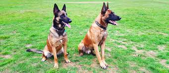 belgian sheepdog puppies price belgian malinois puppy for sale about malinois breed