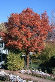 paperbark maple ornamental trees tree type