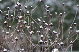 fafardornamental seed heads for winter garden interest