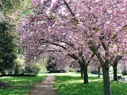 Types Of Garden Trees The Many Types Of Cherry Trees Retire To The Farm