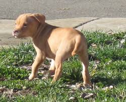 american pitbull terrier apbt adba reg pit bull puppy for sale female red red nose american