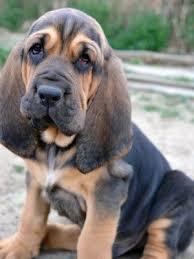 buy a bluetick coonhound puppy best 20 hound dog ideas on pinterest hound dog puppies bassett
