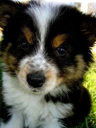 australian shepherd yorkshire terrier mix australian shepherd husky mix photo happy dog heaven