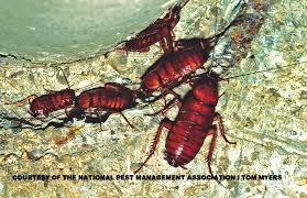 42 best cockroaches images on pinterest pest control roaches
