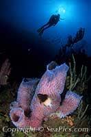 Strawberry Vase Sponge Azure Vase Sponge Callyspongia Plicifera Seapics Com