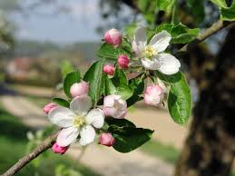 apple tree flowers moments moments