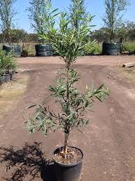kings park native plant sale callistemon viminalis u0027kings park special u0027 andreasens green