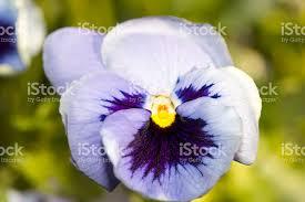 fiori viola fiori viola pensiero fotografie stock e altre immagini