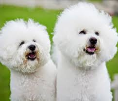 bichon frise and cats why gender in dogs and cats shouldn u0027t matter anymore u2014 a vet u0027s opinion