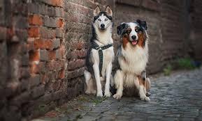 wallpapers husky australian shepherd dogs 2 animals