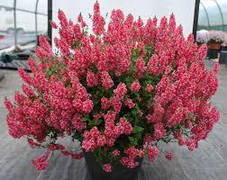 native plant plugs 50 diascia tower of flowers aurora dark pink live plants plugs diy