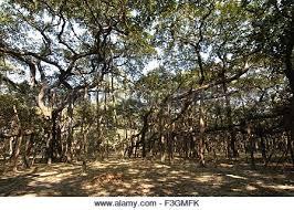 Largest Botanical Garden by Botanical Garden Kolkata India Stock Photo Royalty Free Image