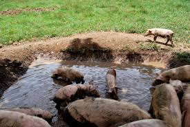 pig heaven what makes free range pigs different our farm by