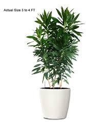 dracaena reflexa ornamental plant small dracaena reflexa web