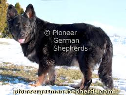 belgian sheepdog puppies for sale in michigan available long coat german shepherd puppies for sale long coat