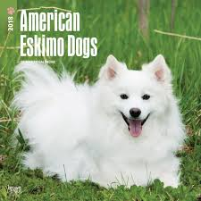 american eskimo dog samoyed american eskimo dogs wall calendar 2018 browntrout calendars