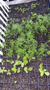 dill other seedlings jpg