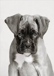 boxer dog black and white 20 cute american boxer dog pictures you will love fallinpets