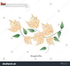 colors of orange illustration orange bougainvillea flowers paper flowers stock