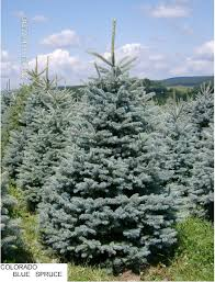 about our blue spruce trees help selecting fast growing trees