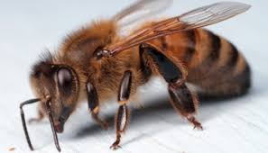 Bee Deterrent For Patio How To Keep Honey Bees From Nesting In Your Home U2013 Entomology Today