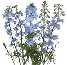 delphinium flowers wholesale delphinium light blue flowers in bulk for weddings