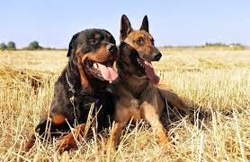 belgian shepherd vs pitbull fight german shepherd vs rottweiler one breed wins
