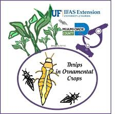 thrips in ornamental crops at uf ifas tropical research and
