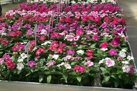 vinca flowers ky garden flowers carex to certostigma