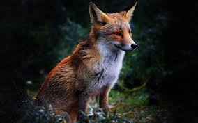 sleeping red fox wallpapers fun facts about fox you for animal