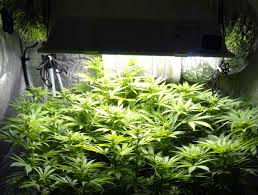 250 watt hps grow light how far should grow lights be from cannabis plants grow weed easy