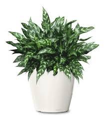 153 best buy indoor plants indoor palms and indoor trees images on