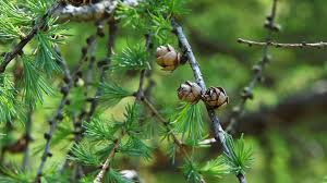 small pine cones growing on a tree branch in a forest stock