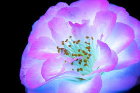 what does uv light do amazing photos capture how flowers look under ultraviolet light