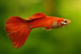ornamental fish how to guppy fish farming
