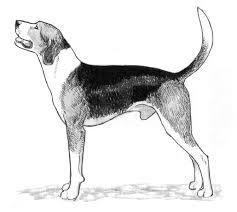 bluetick coonhound treeing rasstandard bluetick coonhound gummarps kennel