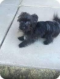 affenpinscher rescue seattle seattle wa dachshund jack russell terrier mix meet rose she