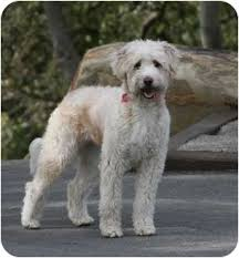 australian shepherd rescue california lucee adopted dog goleta ca australian shepherd poodle