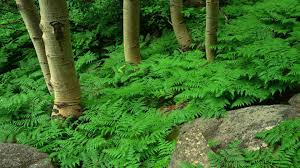 forests forests green ferns fern nature trees plants forest