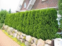 native hedging plants uk best hedging plants for homes and gardens scotplants direct