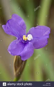 Purple Flag Purple Flag Patersonia Occidentalis Close Up Of Flower Ellis Brook