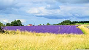 snowshill lavender gardens hd desktop wallpaper for 4k ultra hd