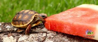 baby tortoise for sale baby tortoises for sale online where to