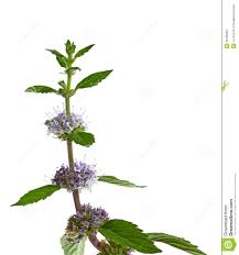 mint flowers mint flower stock photo image of bloom plant wither 36106890